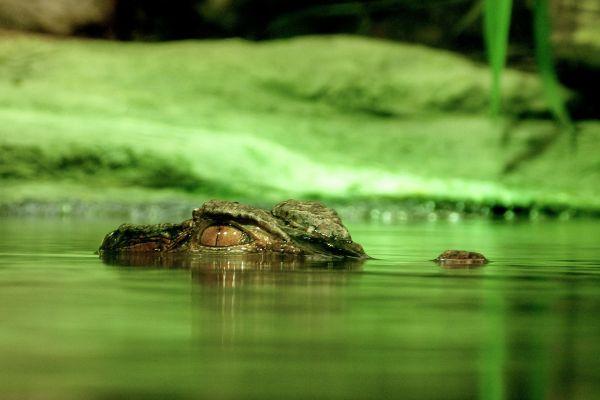 Crocodile in Florida